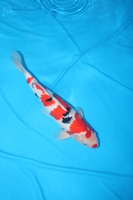 Koi society of western australia for Koi fish pool table